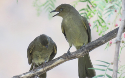 A Tale of Two Sombre Greenbuls – The Birds are not Locked Down Part II